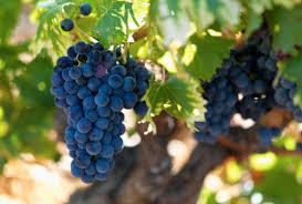 Виноград при запорах